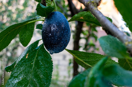 Plums with water drops hanging on a tree. Fresh ripe plums on the branch with leaves on Green background.