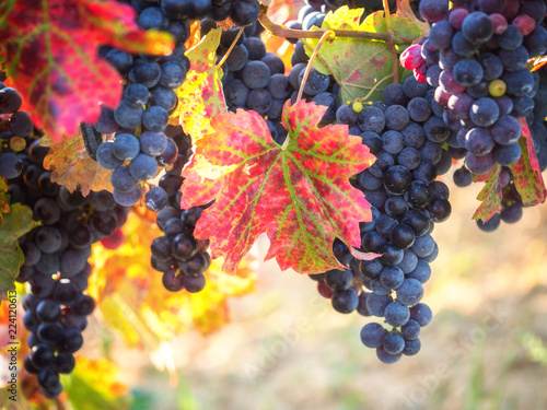 Papiers peints Vignoble Bunch of ripe blue grapes with color autumn leaves, natural agricultural sunny background of vineyard for winemaking