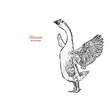 Hand Drawn Goose Isolated. Eng...