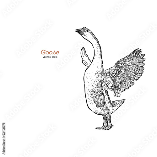 Cuadros en Lienzo Hand drawn goose isolated. Engraved style vector illustration.