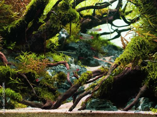 Still life close up of beautiful tropical aqua scape, Nature Aquarium green plant an tropical colorful fish in aquarium fish tank.