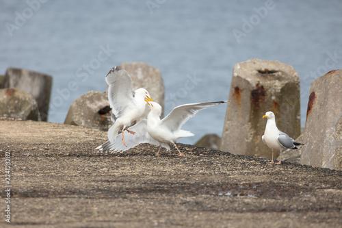 Foto  Dogged fight between male european herring gulls to impress a female