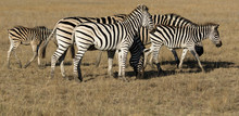 Herd Of Zebras Grazing