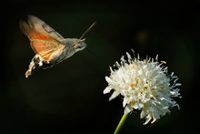 Hummingbird Hawk-moth - Macroglossum Stellatarum Feeding On The Flower In Spain, Europe