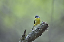 Male Grey Wagtail Perching On Branch