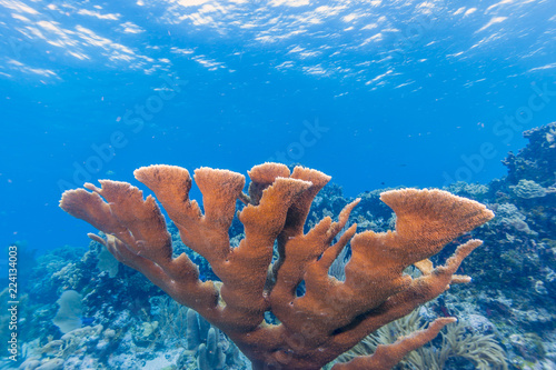 Elkhardn coral Caribbean coral reef
