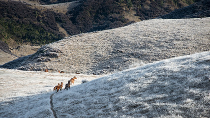 Wild Kaimanawa horses galloping in the winter mountain ranges, New Zealand