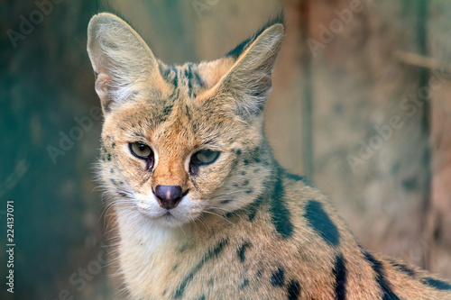 Fotografia  Beautiful close up portrait of The serval (Leptailurus serval), a wild cat native to Africa with big ears