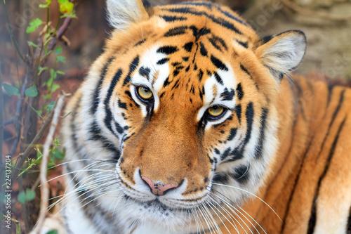 Fotografía  Beautiful close up portrait of a Siberian tiger (Panthera tigris tigris), also c