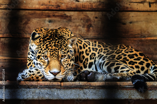 Beautiful close up of a Jaguar (Panthera onca), a wild cat species native to the Americas