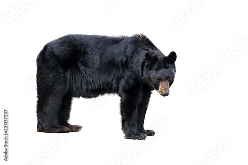 The American black bear (Ursus americanus), a medium sized bear native to North America, isolated on a white background