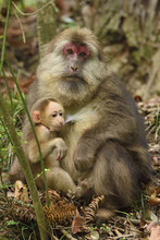Tibetan Macaque Mother And Baby