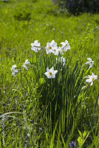 Narcissus poeticus or daffodil white flowers in spring garden
