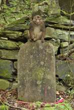 Tibetan Macaque Sitting On Stone