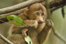 Juevenile Tibetan Macaque Feeding