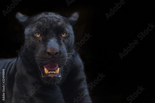 Canvas Prints Panther black panther shot close up with black background