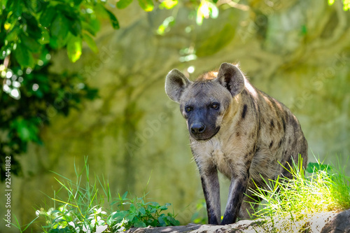 Deurstickers Hyena Portrait of free roaming african spotted hyena