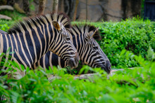 A Foal And Mother Plains Zebra...