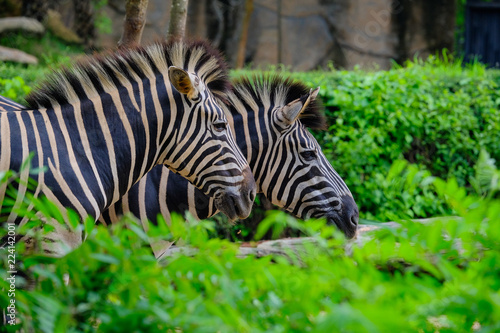 In de dag Zebra A foal and mother Plains zebra walking through long green grass