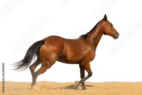 Poster de jardin Desert de sable Brown and red horse galloping on sand on a white background, without people.