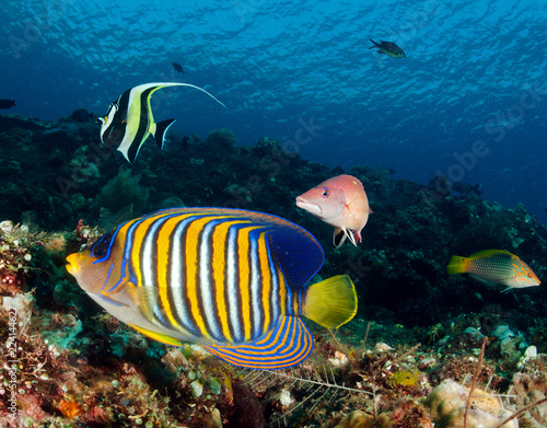 Fotobehang Onder water Reef scenic with Regal angelfish, Pygoplites diacanthus, Tulamben Bali Indonesia.