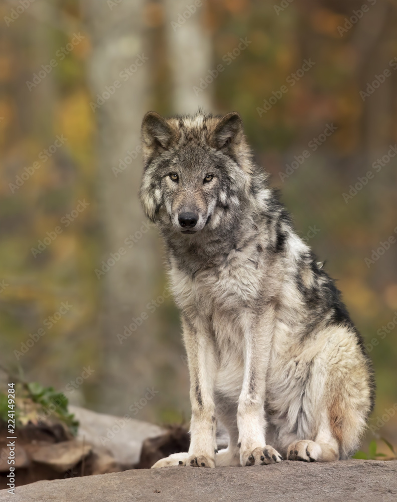 A lone Timber wolf or Grey Wolf  (Canis lupus) on top of a rock looks back on a summer day in Canada