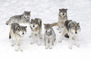 Timber wolves or grey wolves (Canis lupus), isolated on white background, timber wolf pack standing in the snow in Canada