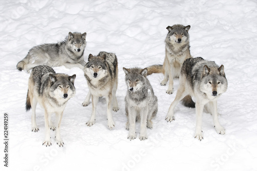 Photo Timber wolves or grey wolves (Canis lupus), isolated on white background, timber