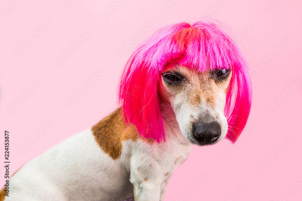 Fototapeta Angry disgust, tired, disagreement dog face in pink wig. Bright pink background