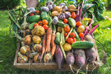 Fototapeta Tulipany - Farmer with vegetables in wooden box, vegetable harvest or garden produce. Organic farming concept.