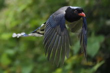 Red Billed Blue Magpie Flying