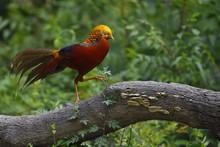 Golden Pheasant Walking