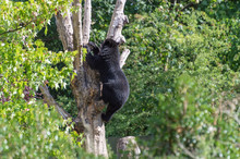 A Spectacled Andean Bear Climb...