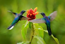 Big Blue Hummingbird Violet Sa...