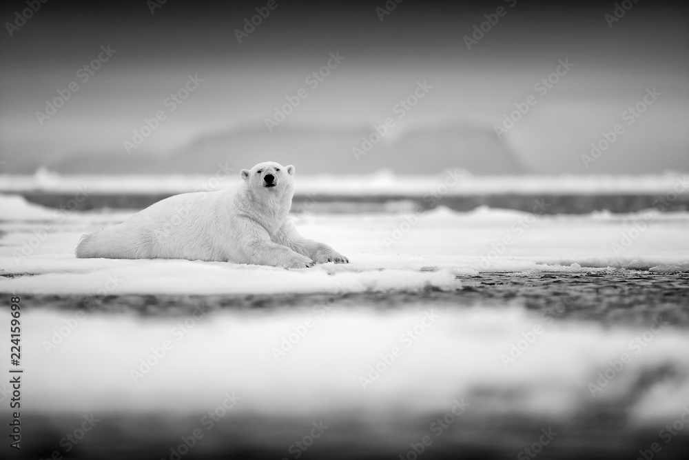 Polar bear on drift ice edge with snow and water in sea. White animal in the nature habitat, north Europe, Svalbard, Norway. Wildlife scene from nature. Black and white art photo.