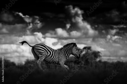 In de dag Zebra Zebra with dark storm sky. Burchell's zebra, Equus quagga burchellii, Nxai Pan National Park, Botswana, Africa. Wild animal on the meadow. Wildlife nature, African safari. Black and white art photo.