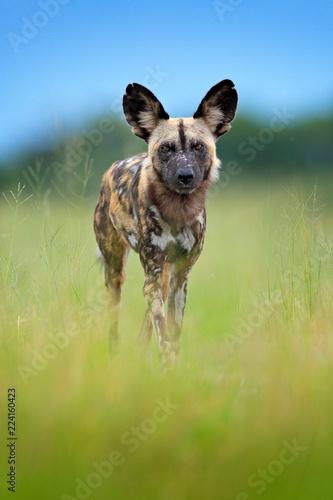 African wild dog, walking in the green grass, Okacango deta, Botswana, Africa Tapéta, Fotótapéta