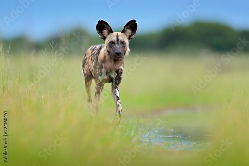 Vászonkép African wild dog, walking in the green grass, Okacango deta, Botswana, Africa