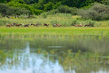 Pack Of Wild Dogs Hunting In B...