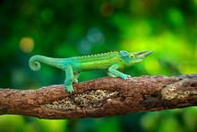 Jackson's Chameleon, Trioceros...