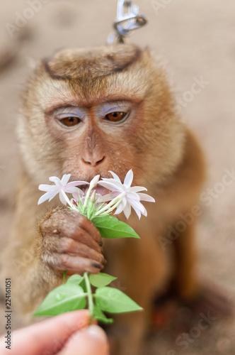 little monkey sniffs white flower outdoor background
