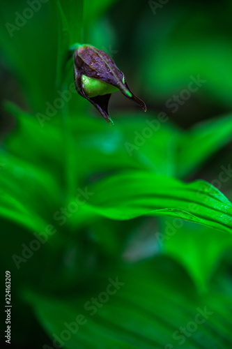 Poster Natuur Cypripedium calceolus, Lady's Slipper Orchid,flowering European terrestrial wild orchid in nature habitat with green background, Czech Republic, Europe. Bloom plant in the meadow habitat.