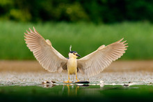 River Bird Hunter. Night Heron, Nycticorax Nycticorax, Grey Water Bird With Open Wings The Water. Animal In The Nature Habitat, Hungary, Europe. Heron Catch The Fish. Animal Behaviour With Loot.