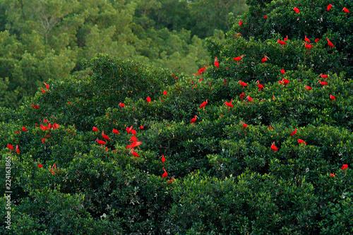 Canvas Scarlet Ibis, Eudocimus ruber, exotic red bird, nature habitat, bird colony sitting on the tree, Caroni Swamp, Trinidad and Tobago, Caribbean