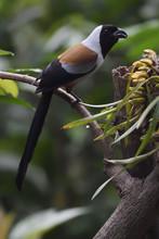 Collared Treepie Bird