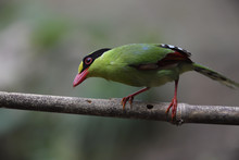 Common Green Magpie Perching On Tree Branch
