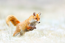 Red Fox Jumping, Vulpes Vulpes...