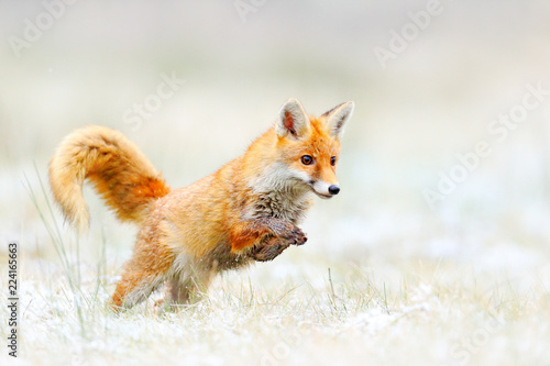 Red Fox jumping, Vulpes vulpes, wildlife scene from Europe Canvas-taulu