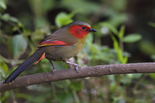 Red Faced Liocichla Bird China