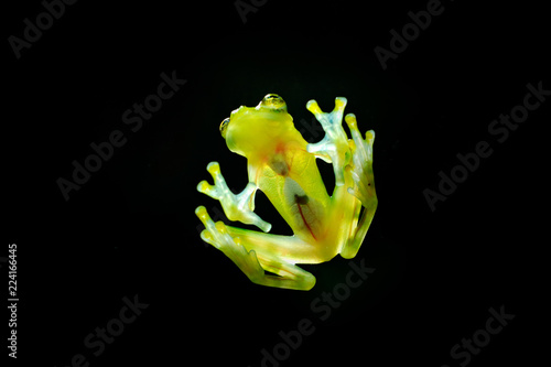 Glass frog with transparent skin, visible organs, heartbeat. Raticulated Glass Frog, Hyalinobatrachium valerioi, green tropical forest, Costa Rica- Wildlife scene, nature.